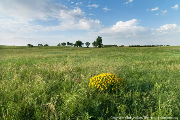 After adjusting our management plans to account for last year's drought, the prairie was grazed briefly this spring and - thanks to some good spring rains - looked lush and green by early June.