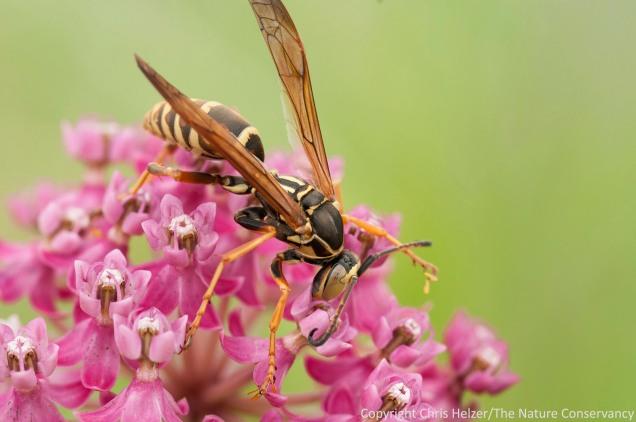A paper wasp (Polistes fuscatus) feeding on milkweed nectar.