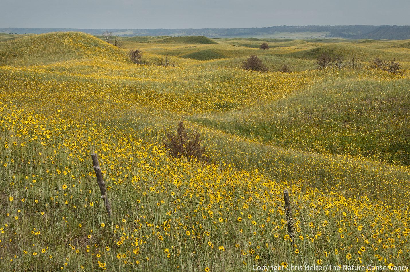 Sunflowers The Prairie Ecologist