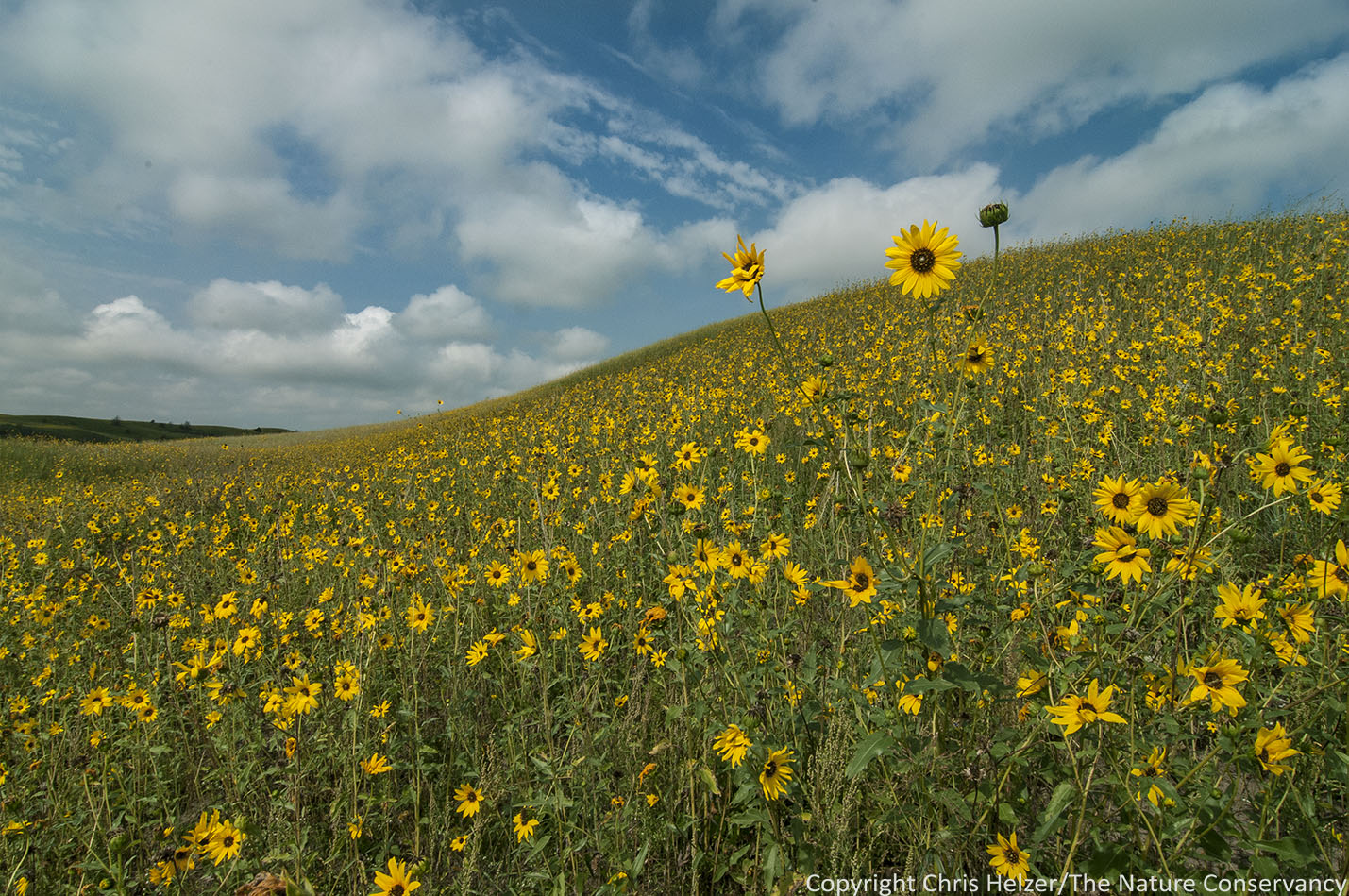 Sunflowers The Prairie Ecologist