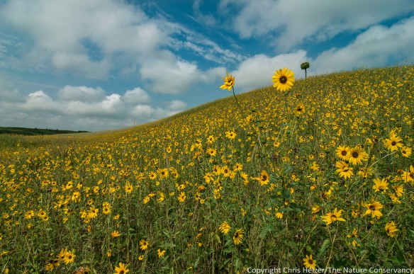 A profusion of sunflowers in sandhill prairie at The Nature Conservancy's Niobrara Valley Preserve in north central Nebraska.