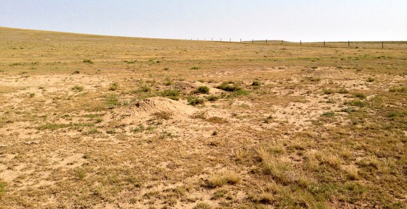 CPER: Another major difference- look at the ground cleared by a small prairie dog colony!