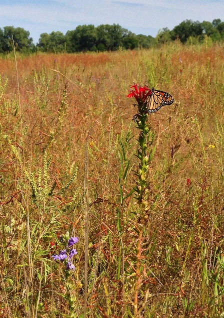 This monarch had the choice between blue lobelia and cardinal flower.  She chose cardinal flower. So did all the other butterflies.