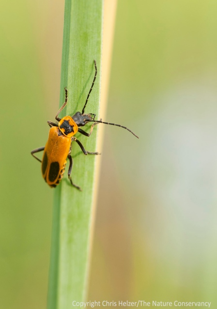 A soldier beetle on a grass leaf.  Lincoln Creek Prairie - Aurora, Nebraska.
