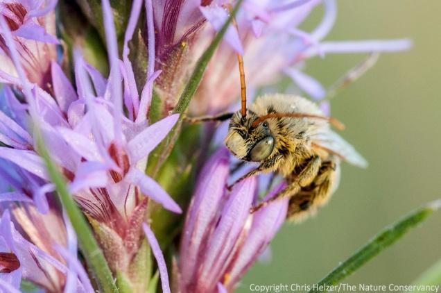 A male long-horned bee (Melissodes sp) on dotted gayfeather (Liatris punctata).  Helzer family prairie - south of Aurora, Nebraska.