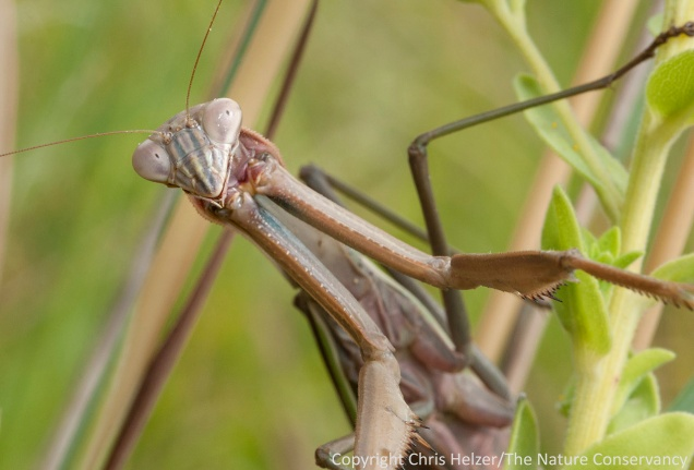 A closer look at the above mantid.