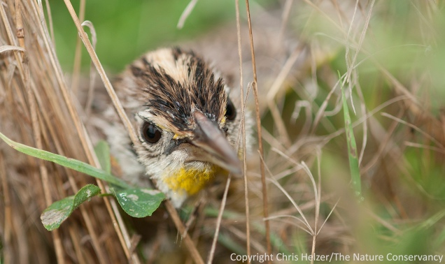 This young meadowlark peered through the grass at me as I crept close enough to photograph it.  Platte River Prairies, Nebraska.