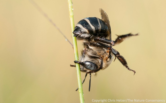 A female bee (Anthophora walshii) clings upside down to a grass stem with her mandibles.