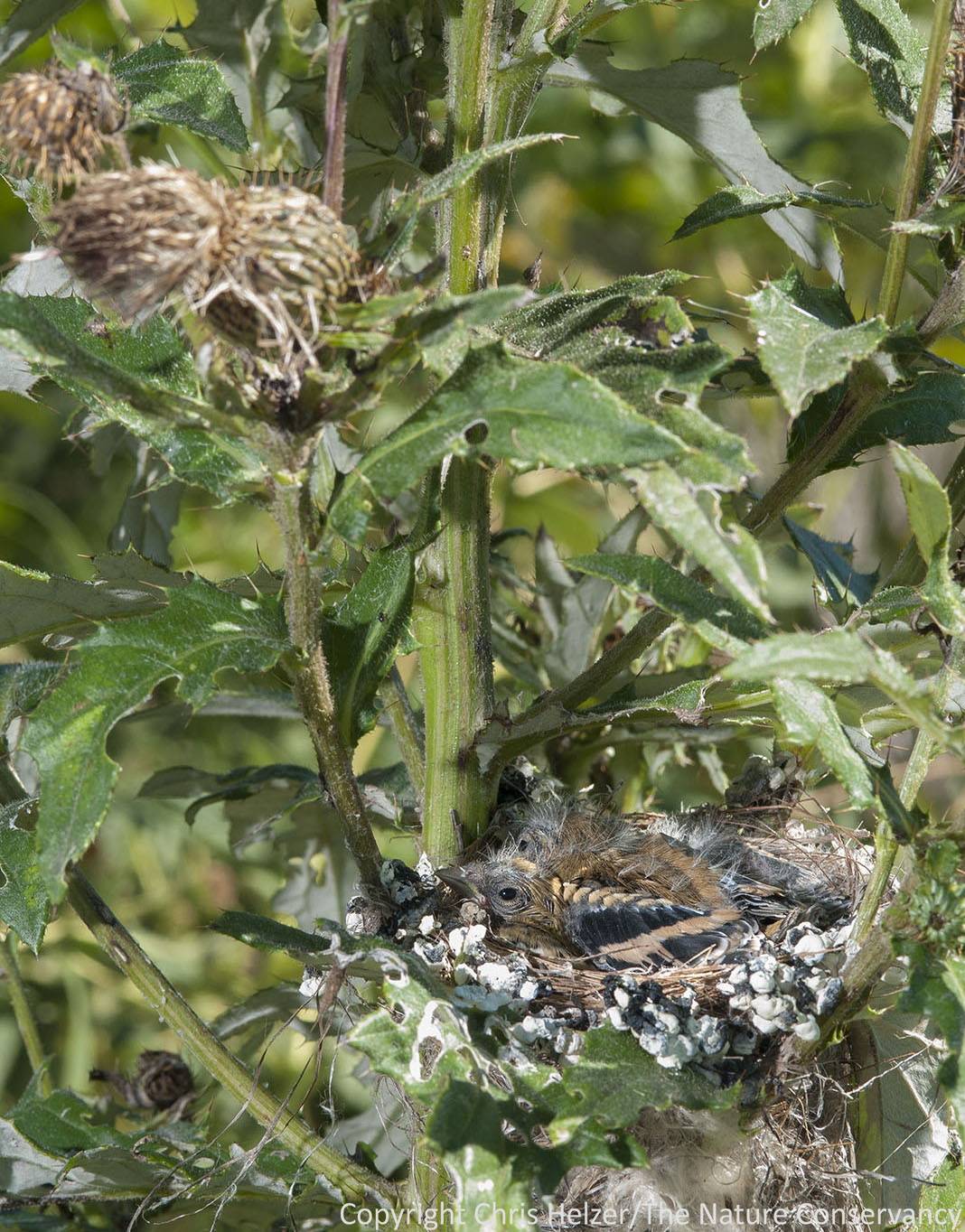 A better view of the nest placement within the tall thistle plant.