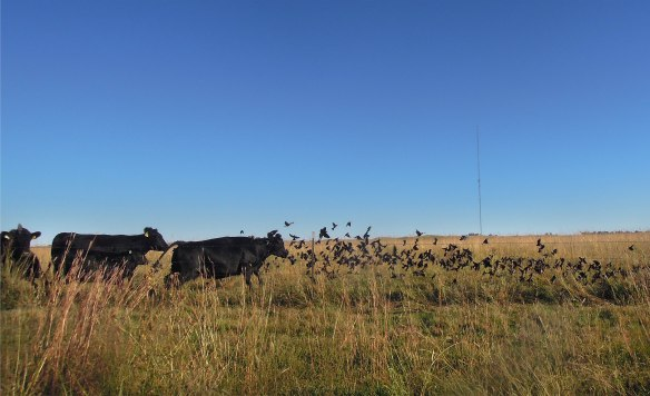 As if on a mischievious (or vengeful?) whim, the neighboring cows rushed at them.