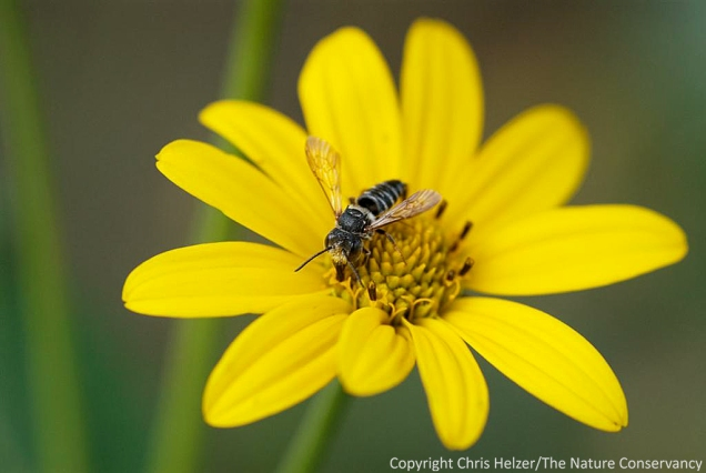 Native bees do best on native wildflowers.