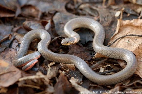 I found this ring-necked snake underneath a small eastern redcedar tree I was cutting down.  My kids got to see it too, which was a nice bonus.