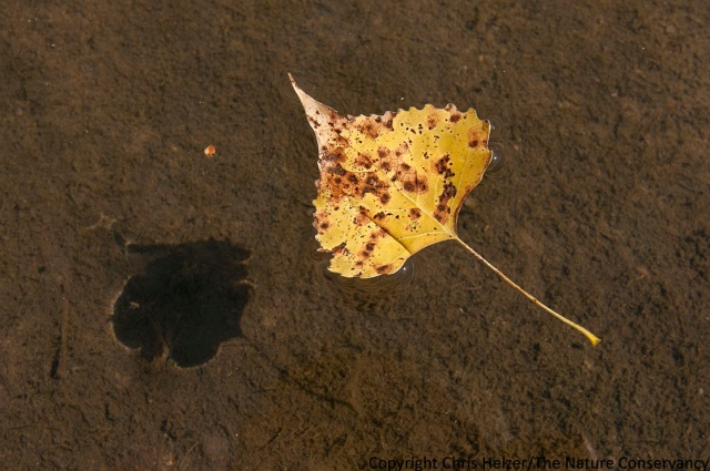 A cottonwood leaf floats on a backwater pool of the river.