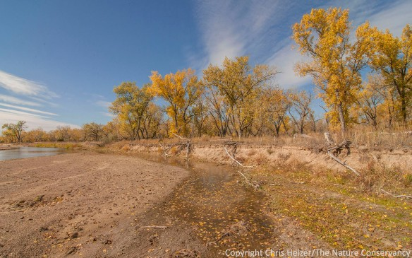 Cottonwood trees along a small side channel of the North Platte River near Sutherland, Nebraska.  The Nature Conservancy's Kelly Tract.