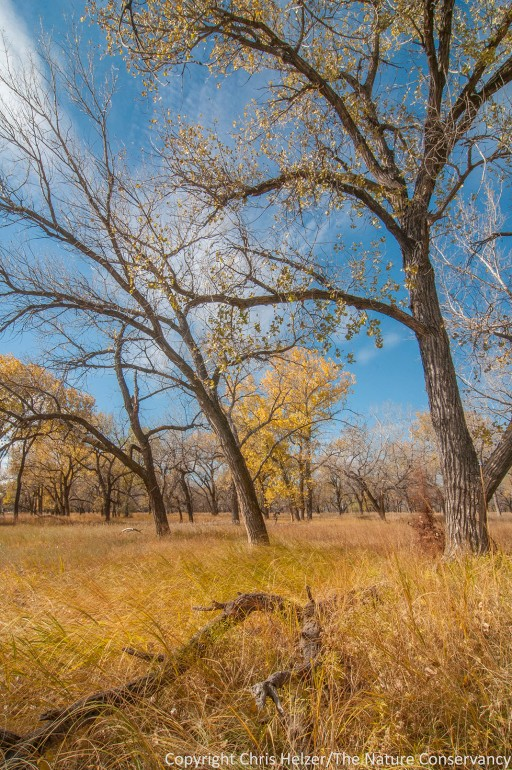 A cottonwood savanna at The Nature Conservancy's Kelly Tract.