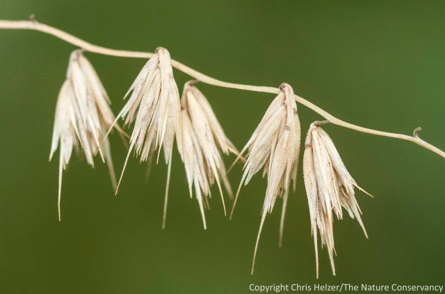 Sideoats grama seeds.  Helzer Prairie Garden - Aurora, Nebraska.