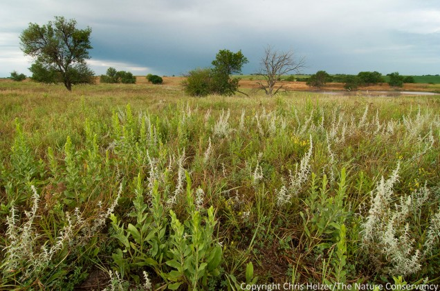 Most of our prairie is old cropfield planted to grass in the 1960's, so the forb community consists mainly of species such as stiff goldenrod and white sagewort that can colonize easily.