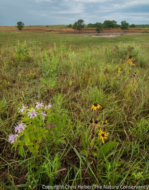 """One strategy I've adopted from my work at The Nature Conservancy is overseeding.  I harvest my own seeds and broadcast them in the fall after a portion of the prairie has been grazed fairly intensively.  The results are not overwhelming, but I'm starting to see some good results, including """"easy"""" plants such as black-eyed susan and bergamot (shown here) but also more conservative plants as well."""