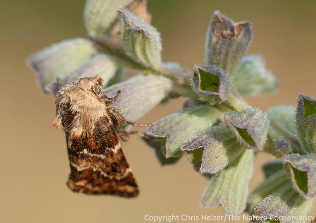 This moth used pitcher sage as an overnight roost, but this particular plant is done providing nectar for the year.  There are still a few pitcher sage plants blooming here and there, but not many.
