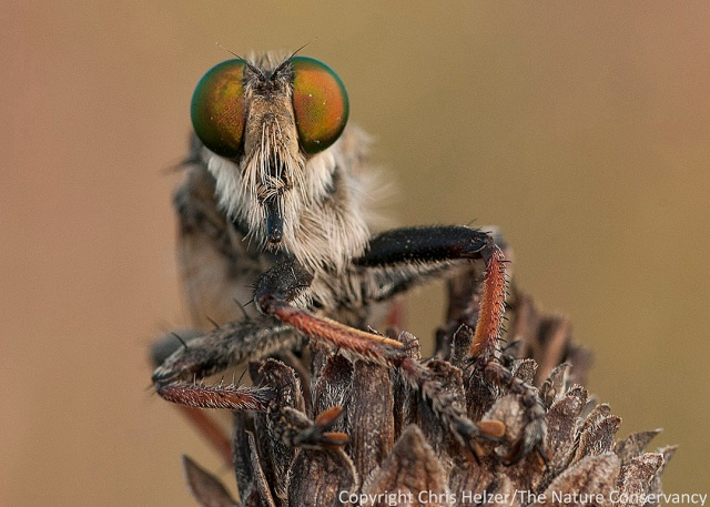 Robber fly.  The Nature Conservancy's Platte River Prairies, Nebraska.