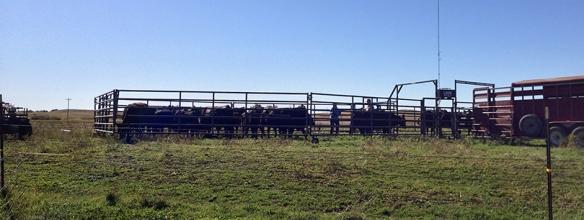 Goodbye cattle.