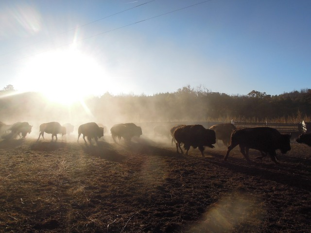 Hundreds of bison were milling around nervously, kicking up dust and being extremely photogenic.