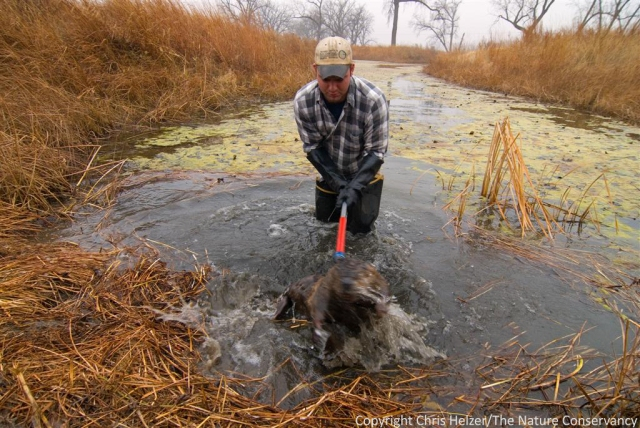 Kent Fricke caught lots of otters and implanted radio transmitters in them.  When I went out with him to check traps, he just caught other animals like this big beaver.