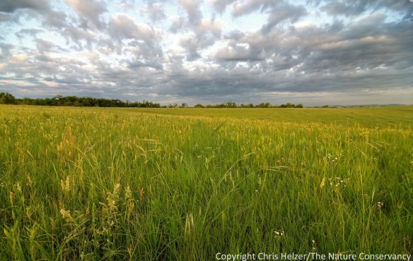Prairies that are annually burned or hayed (like this one) may be able to maintain their plant diversity, but provide only a limited range of habitat options for wildlife and invertebrates.