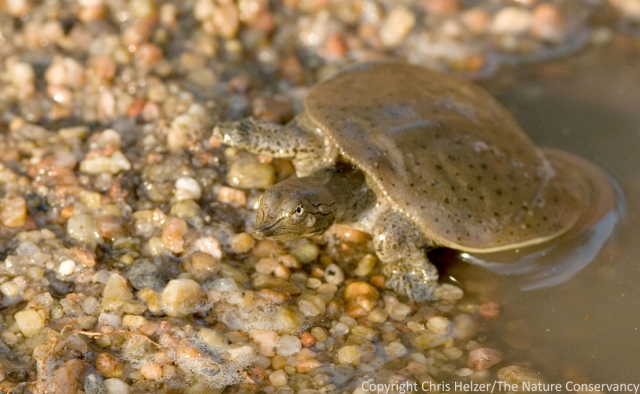 This tiny soft-shelled turtle is very cute, and also lives at the otter wetland.  However, it is not an otter either.