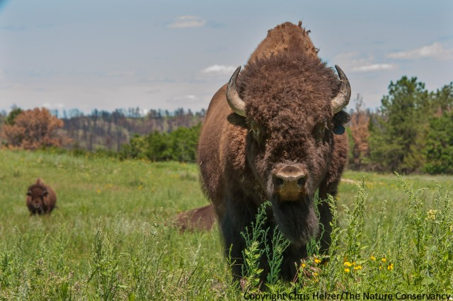 Bison at The Nature Conservancy's Niobrara Valley Preserve, Nebraska.