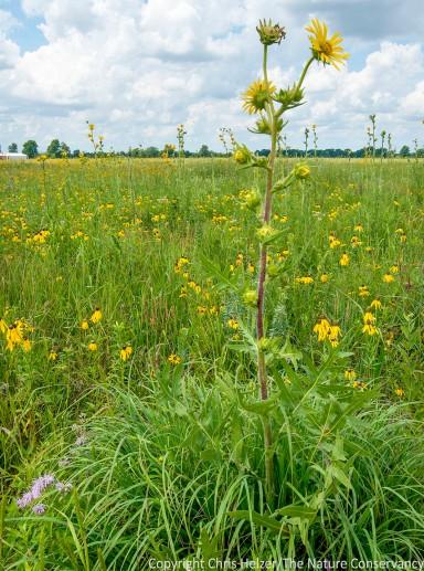 Compass plant.  Prairie Fork Conservation Area.  Missouri.