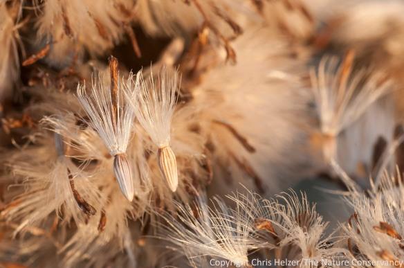 More goldenrod seeds.
