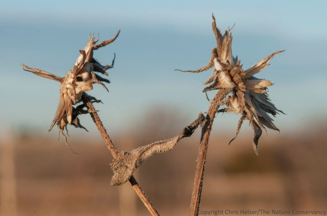 These annual sunflowers (Helianthus annuus) have lost all of their seeds already, though opportunistic scavengers might still find some on the ground beneath the plant.