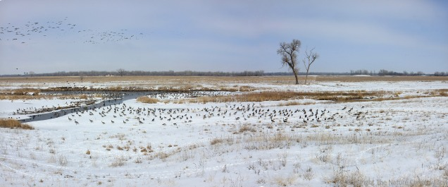 February 25, 2013. A flock of migratory Canada geese enjoys the snow-covered wetland.
