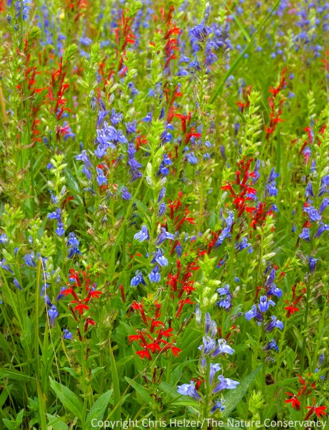 Who wouldn't want flowers like this in a garden?  Blue lobelia and cardinal flower in The Nature Conservancy's Platte River Prairies.