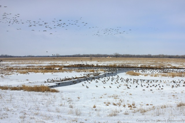 12:06pm.  February 25, 2013.  Canada geese and mallards are among the many migratory water birds that visited the wetland.  The heaviest use seems to be during the northward migration in late winter/early spring.