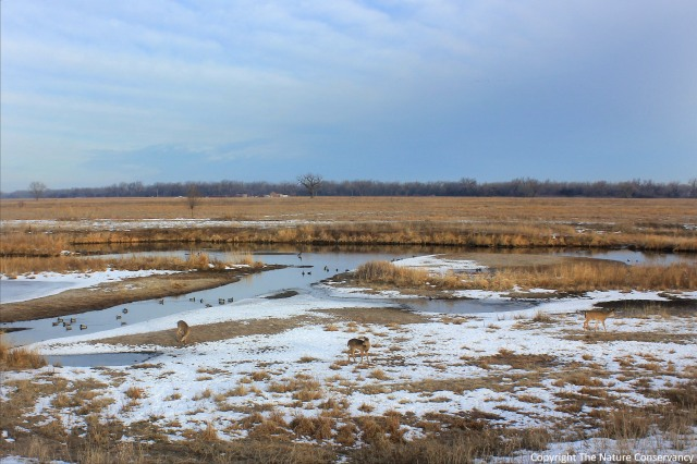 9am.  March 3, 2013.  Three white-tailed deer pass through the wetland with a group of mallards in the background.