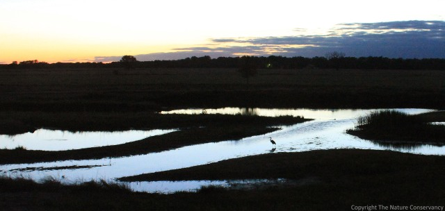 June 5, 2013.  9:50pm. Great blue herons are very frequent visitors to the wetland.  This one was taking advantage of the last light of the day.