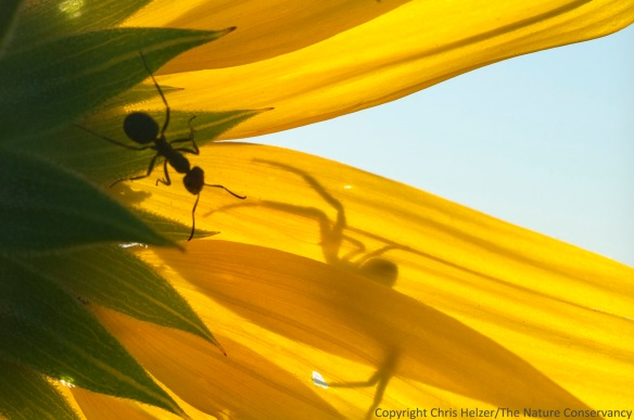 Ant and crab spider on an annual sunflower.  The Nature Conservancy's Niobrara Valley Preserve, Nebraska.