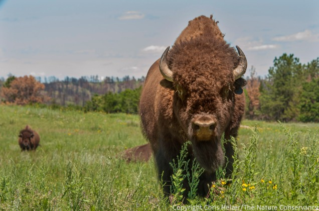 Bison at The Nature Conservancy's Niobrara Valley Preserve (one year after the big wildfire).