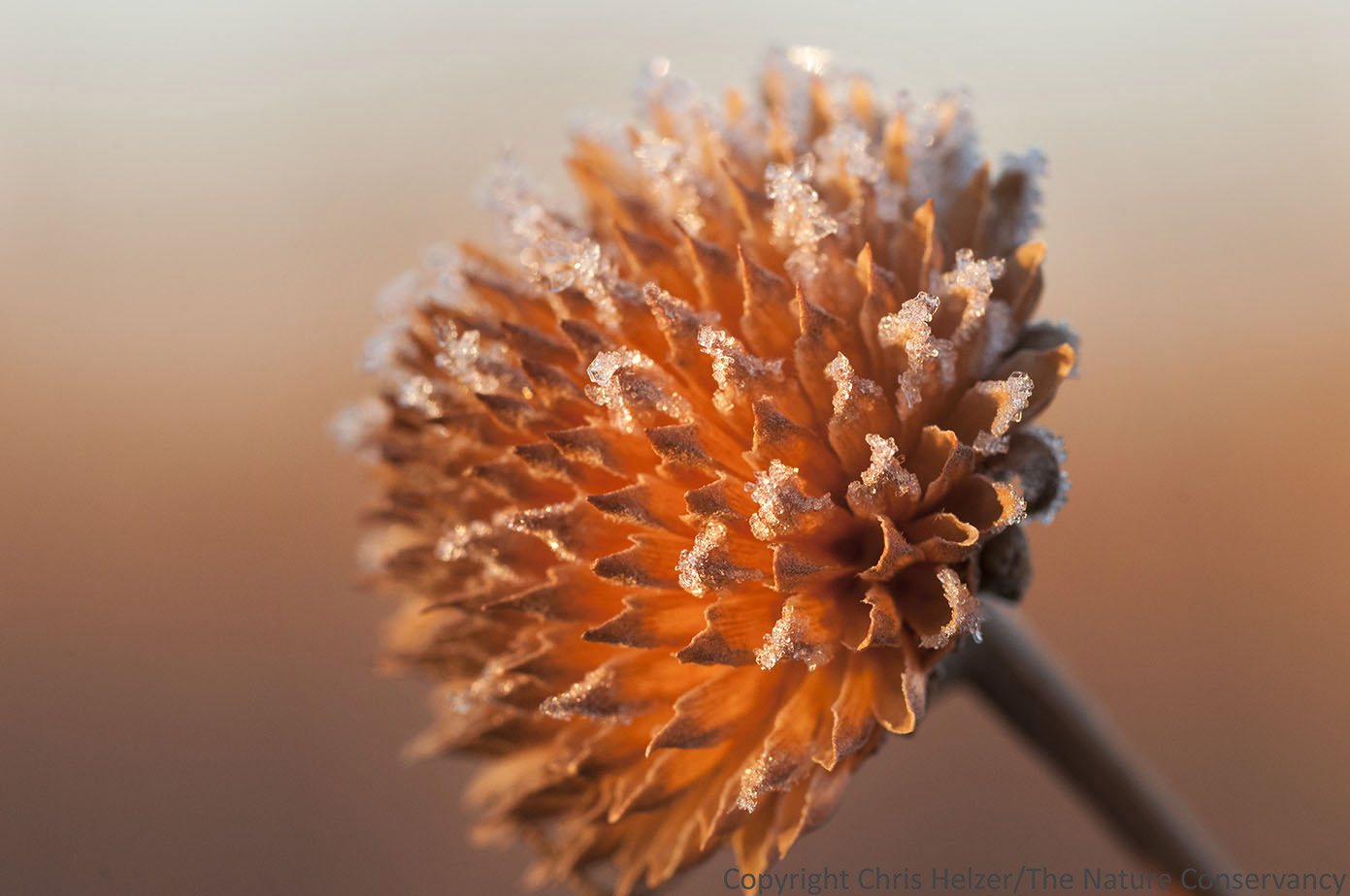 A sunflower seed head