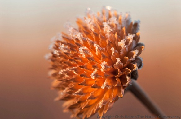 A sunflower seed head