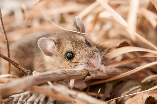 Deer mouse (Peromyscus maniculatus) at the Helzer family prairie.