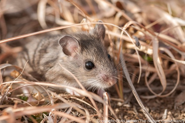 A deer mouse peers out of the thatch.