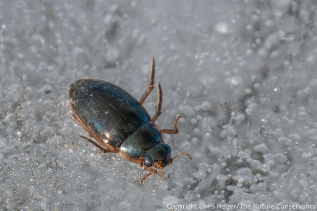 Here's one of the beetles that froze after (apparently) getting caught out on the ice after a warm day.  I'm hoping one of my entomologically-inclined friends can help me out with identification and/or natural history info?