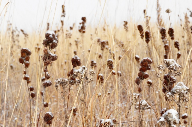Fresh snow on bushclover and yarrow in the Derr Sandhills.  The Nature Conservancy's Platte River Prairies, Nebraska.
