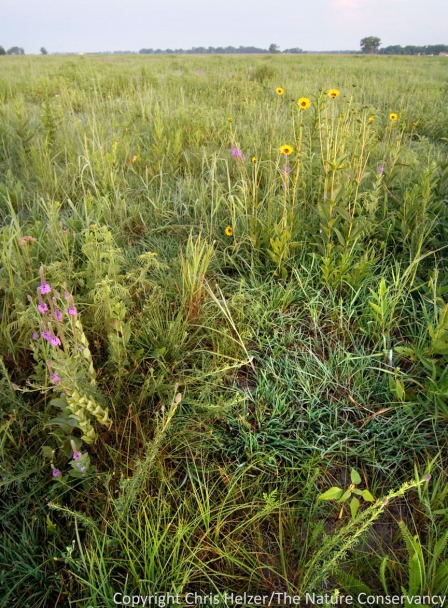This photo shows the kind of selective grazing cattle can do in a patch-burn grazing system with a moderate stocking rate.  Ungrazed forbs in this photo include purple prairie clover and stiff sunflower, among many others.