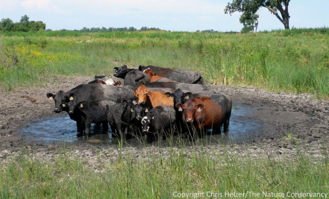 These cattle almost look ashamed of their tendency to hang around in water.