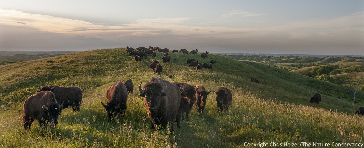 Bison Good Cattle Bad The Prairie Ecologist Fourwire Electric Fence System Allows Landowners To Control Deer These Particular Magical Animals Are At Nature Conservancys Broken Kettle Grasslands In Northwest Iowa