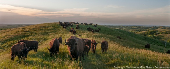 These particular magical animals are at The Nature Conservancy's Broken Kettle Grasslands in northwest Iowa.